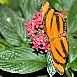 De oranje tijgervlinder.