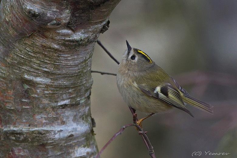 Goudhaantje - Een echt HDHD vogeltje. Zit geen seconde stil. Ondanks slechte lichtomstandigheden toch redelijk kunnen vastleggen in de Amsterdamse Wat