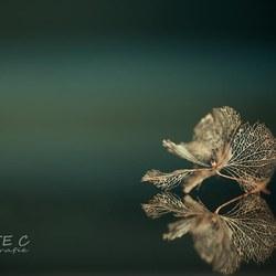 Hortensia bloemetjes