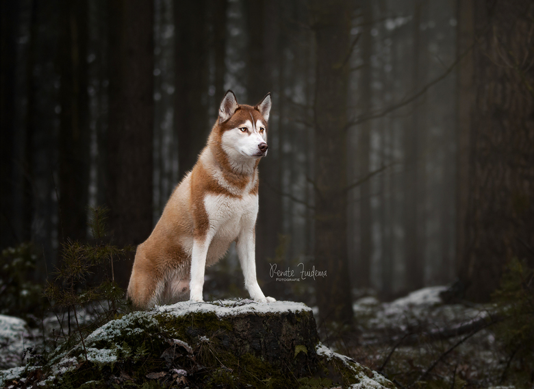 King of the forest - Husky Mylo