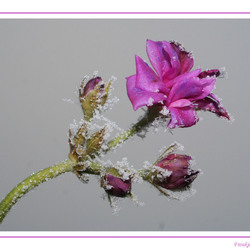 geranium met ijs