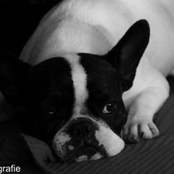 Fotoshoot met een frans bulldogje