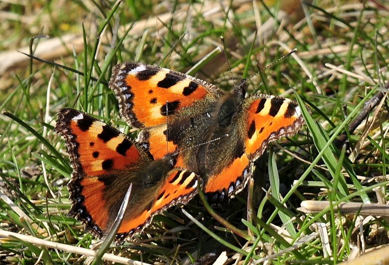 Lente - De lente is vandaag echt begonnen, deze vlinders gespot in het natuurgebied Geestmerambacht (Noord-Holland)