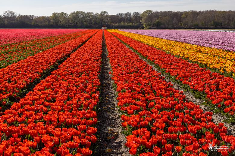 Bloembollenvelden - Het blijft altijd mooi om die eindeloze velden met tulpen in allerlei kleuren te zien. Deze heb ik nog net kunnen maken voordat de