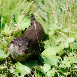 Otter in het groen