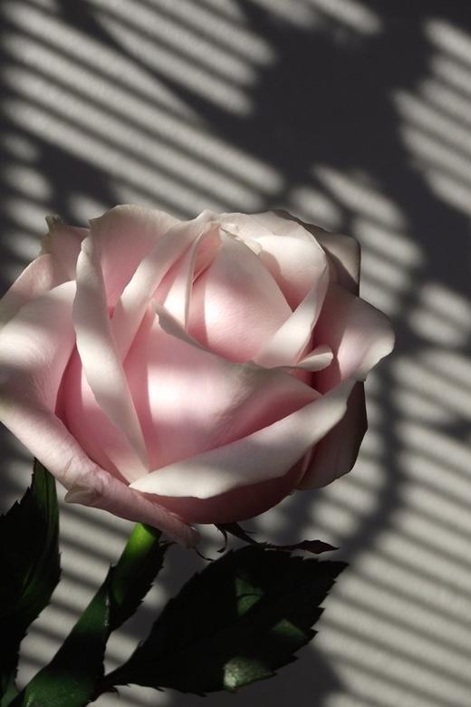 Roze Roos - Deze roos die ik voor mijn vrouw had meegebracht stond zo lekker in het zonnetje... hij vroeg er om, op de foto te gaan.