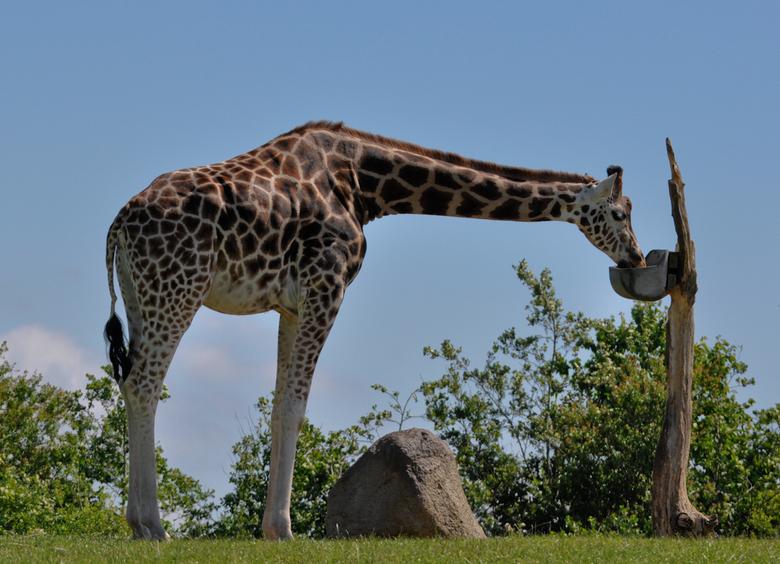 Giraffe - Foto genomen in safaripark Givskud Zoo (Denemarken)