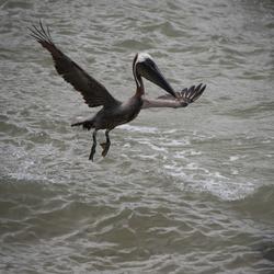 pelikaan whauwww ik vlieg