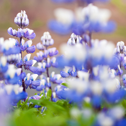 Field of the Lupine