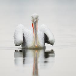 kroeskop pelikaan kerkini