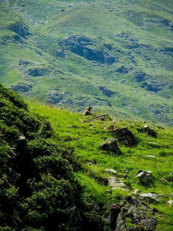 Op de uitkijk - In de Pyreneeën leven nog volop marmotten. Deze zat hier heerlijk op de uitkijk.