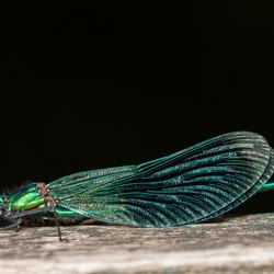 Bosbeekjuffer (Calopteryx virgo)