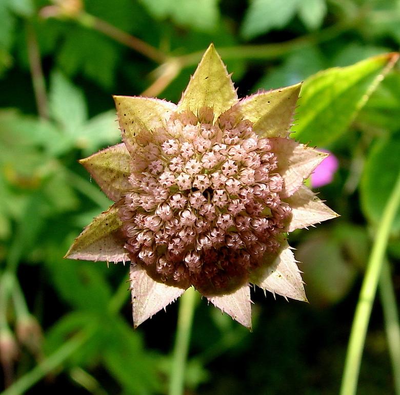 Wat ervan overbleef.......... - In Rose-Mary&#039;s Garden deze zaaddoos gevonden.<br /> Ik zou niet weten welke bloem hier ooit aan gebloeid heeft,