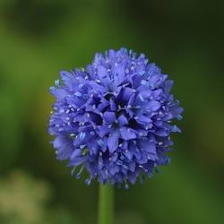 Blauwe Allium