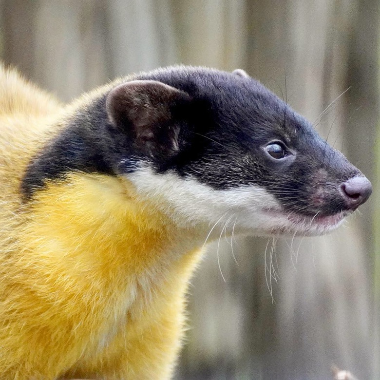 Maleise Bonte Marter - Deze Maleise Bonte Marter is bewoner van een dierenpark. Ik wil haar graag fotograferen maar er zijn wat moeilijkheidsfactoren