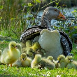 21 Goslings
