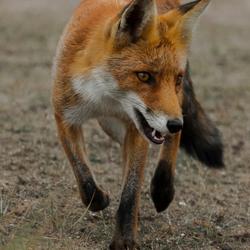 Walking Red Fox