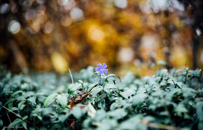 Herfstbloem - Bloeit er toch nog een bloempje zo laat in het jaar in de tuin. Wel leuk zo met de herfstkleuren op de achtergrond.<br /> <br /> <br /