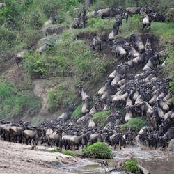 Rivercrossing in de Masai Mara