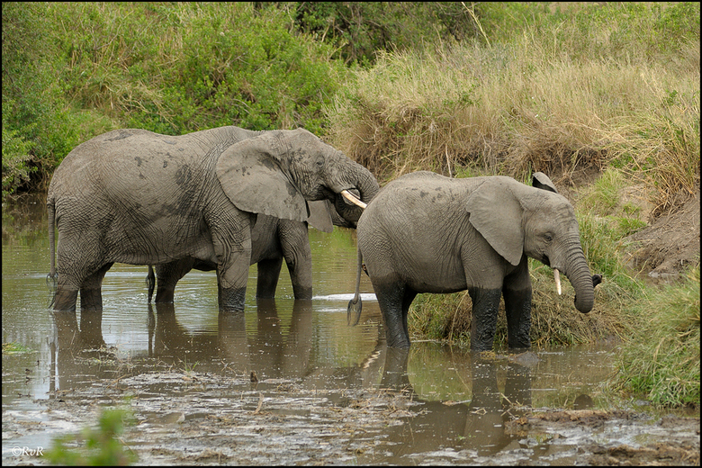 Drinken - Bij één van de watertjes in de Serengeti  hield zich een groep olifanten op. Een  deel stond nog op de oever, terwijl een ander deel in het