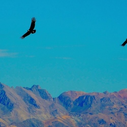 Andes condors.