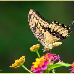 Papilion Creshfontes op bloem_DSC3665psd