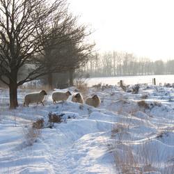 schapen in de sneeuw op de heide