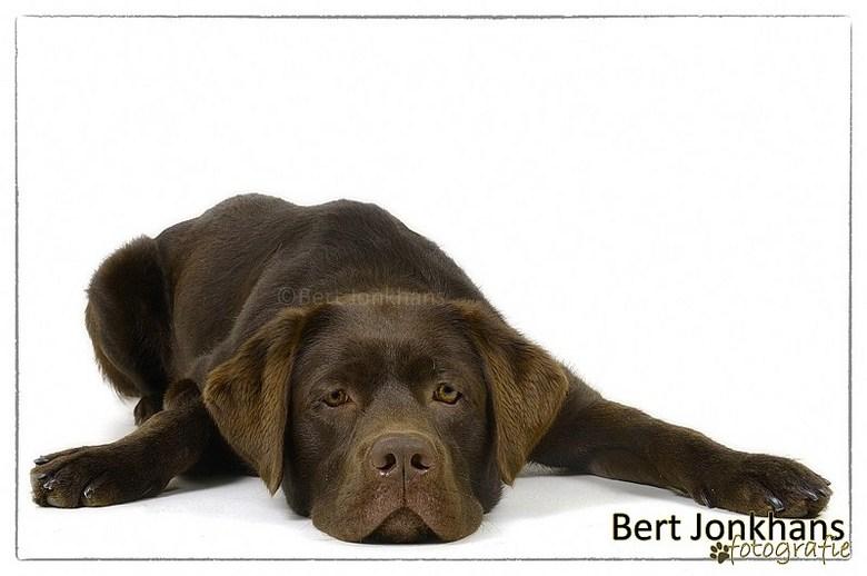 """Gevloerd! - Deze labrador is uitgeteld na de fotoshoot! <img  src=""""/images/smileys/smile.png""""/>"""