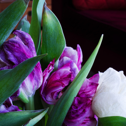 Busy tulips