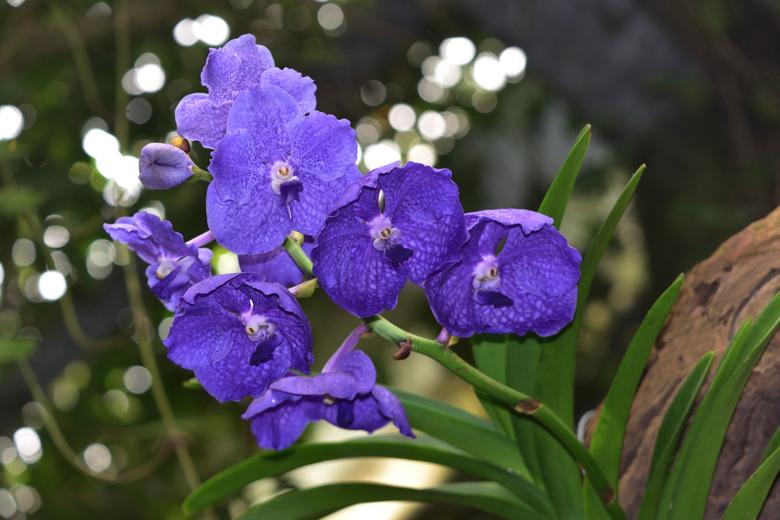 Vanda blauwpaars - Blauwpaarse Vanda gefotografeerd in de  Orchideeënhoeve.