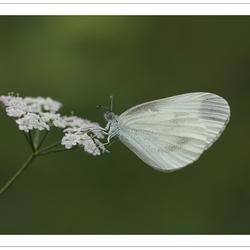 Wood White*
