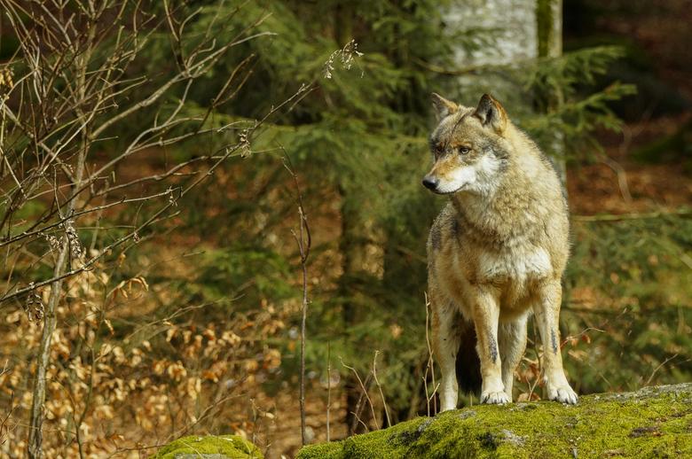 On the outlook - In het Beierse woud kan je dieren in een natuurlijke omgeving fotograferen.<br /> Je ziet er onder meer wolven... !<br /> <br /> N