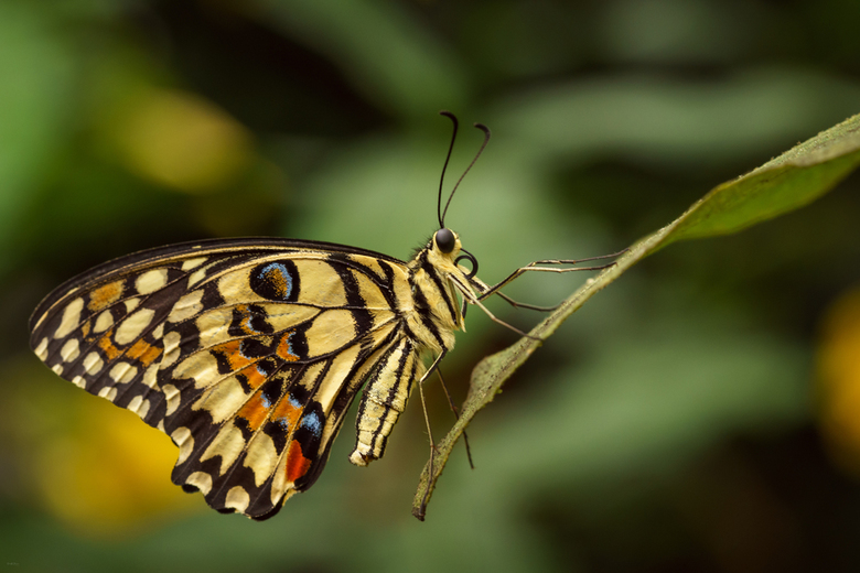 Lime Butterfly -