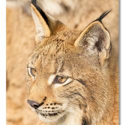 Lynxen die naar rechts kijken