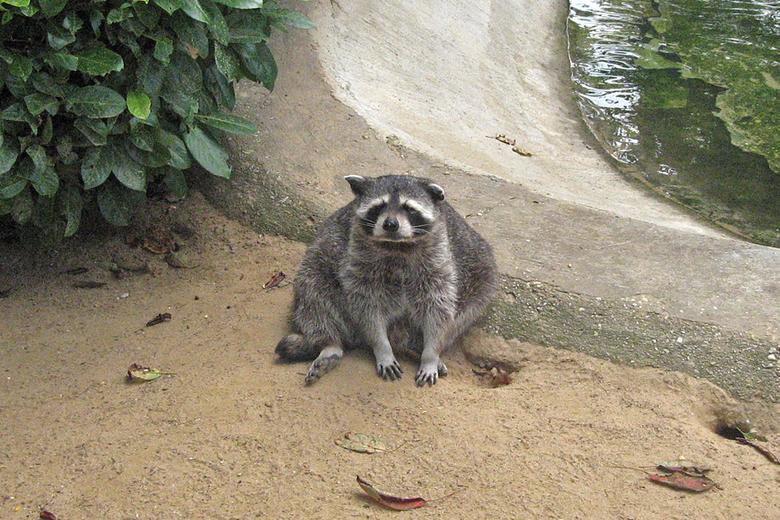 De luie wasbeer