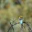 Regenboog bijeneter