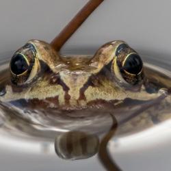 Close up bruine kikker