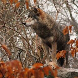 wolf blijdorp
