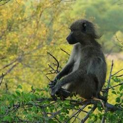 Baboon in Krugerpark.jpg