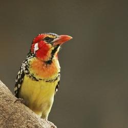 Vuurkopbaardvogel
