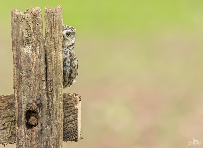 Kiekeboe! - Dit steenuiltje bleef lange tijd achter het hek zitten en keek af en toe het hoekje, hilarisch! <br /> <br /> <br /> 500mm 1/1000 f/7.1