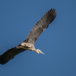 Big Heron