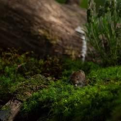 Kleine muis
