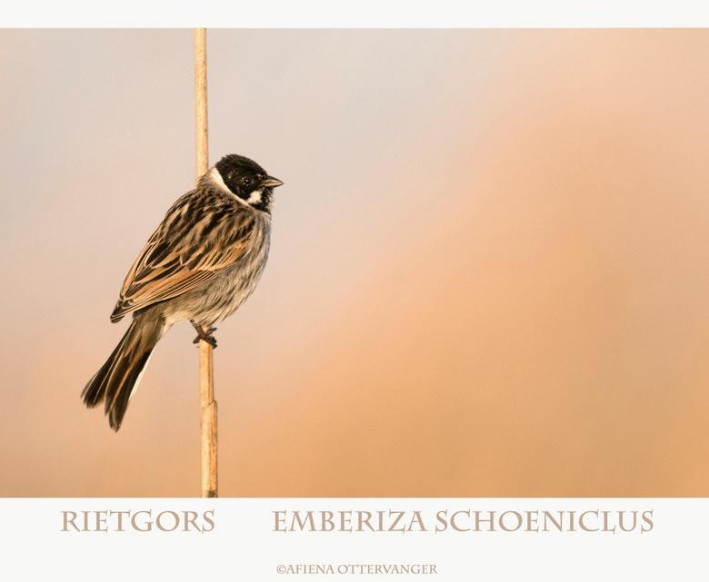 Rietgors Emberiza schoeniclus - Deze rietgors afgelopen zaterdag aan het Lauwersmeer kunnen vastleggen,prachtig licht die ochtend maar wel heel veel w
