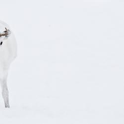 jong rendier in de sneeuw