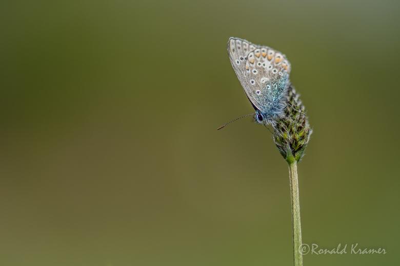 In afwachting - Inmiddels tref je ze niet meer aan omdat het vlinderseizoen al zo'n beetje voorbij is. Daarom nog maar eentje ter afsluiting. Een