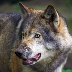 Europeese Wolf