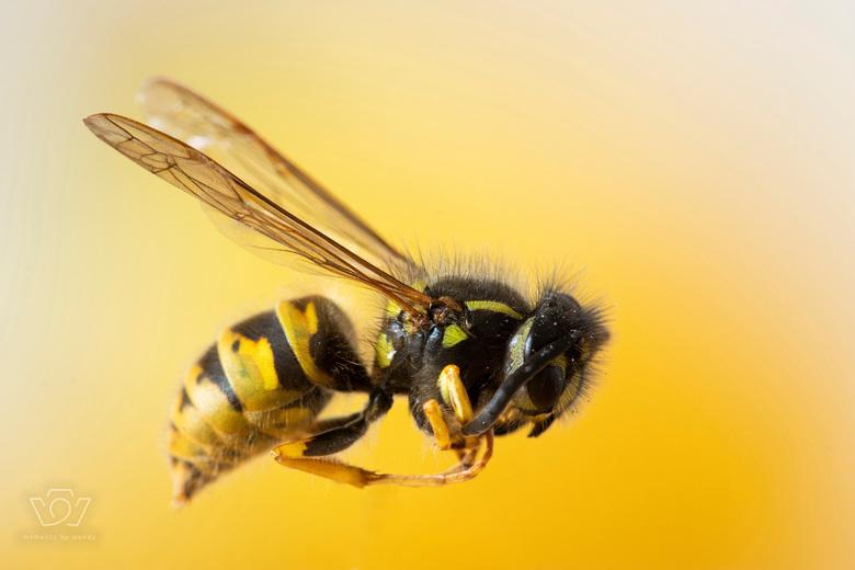 De gevreesde wesp - Zo vervelend maar toch zo mooi !