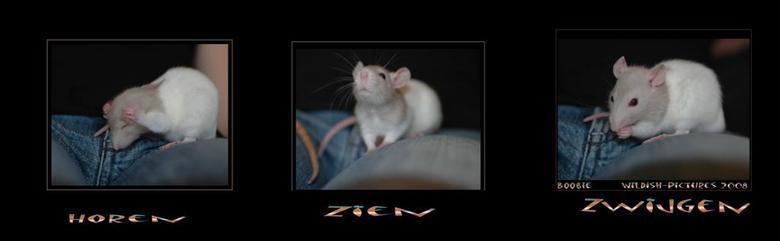 """horen zien zwijgen - onze allernieuwste aanwist , een lief klein ratje genaamd BOOBIE . De meteen een fotomodel is <img  src=""""/images/smileys/smile.pn"""