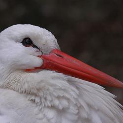 Stork...